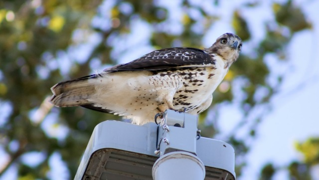 broad-winged-hawk-1400x790